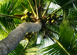 CoconutTree